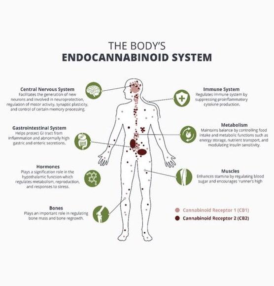 CBD And Sleep Disorders, endocannibinoid system